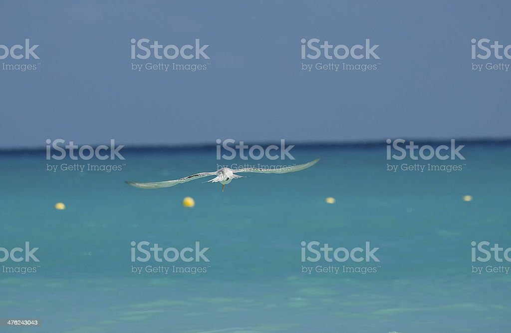 Seagull flying over calm sea stock photo