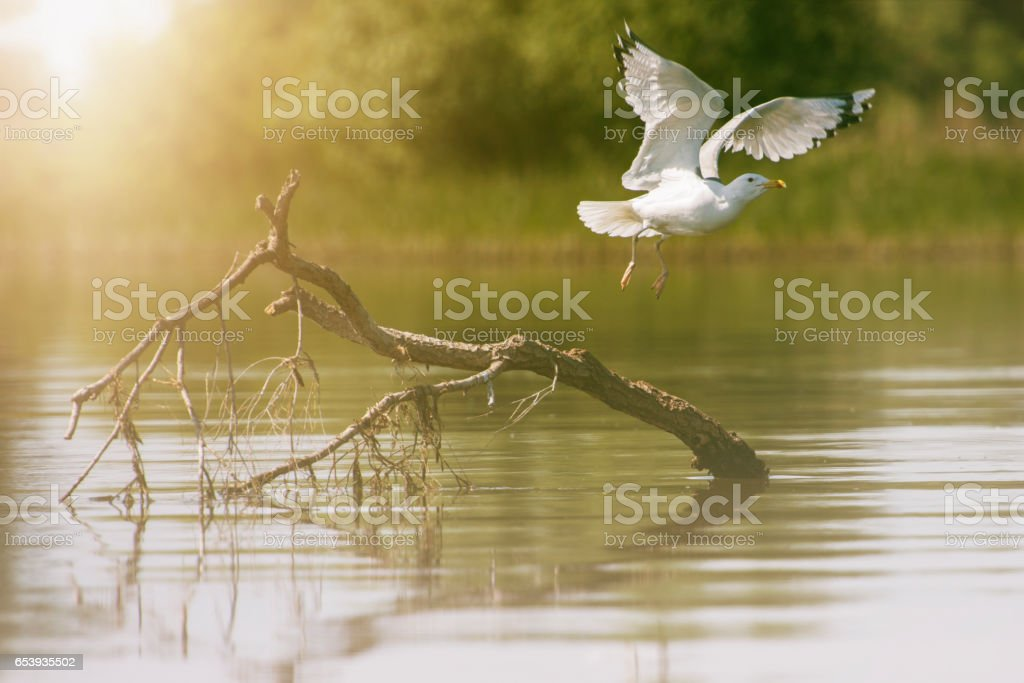 seagull flying over lake stock photo