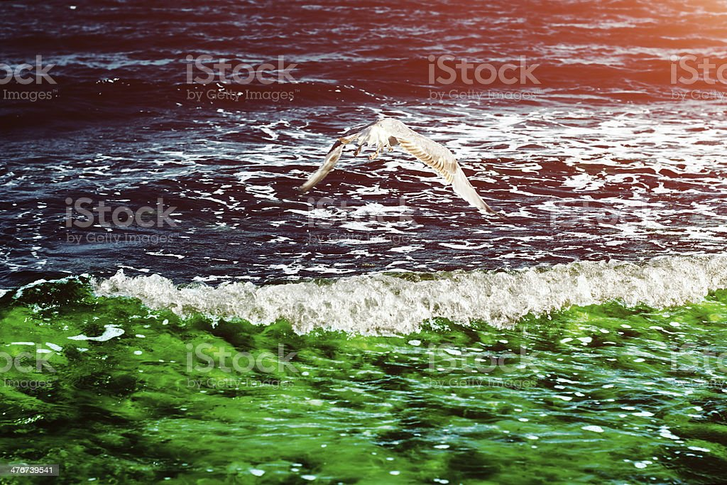 Seagull flying over waves stock photo