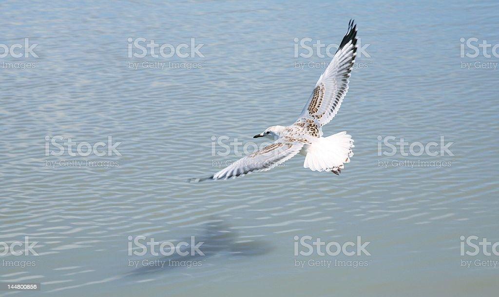 Möwe Fliegen Lizenzfreies stock-foto