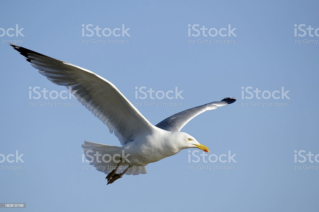 A seagull flying through the air stock photo