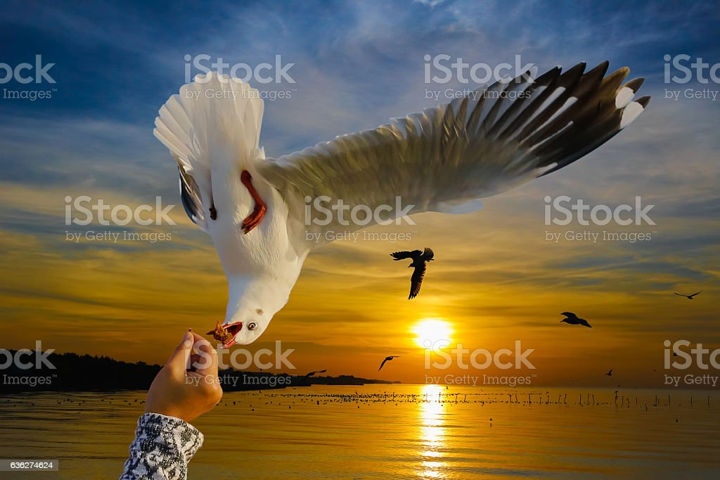 Seagull flying to eat food stock photo