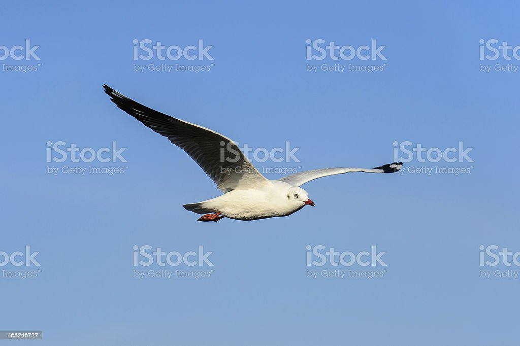 Seagull flying under blue sly stock photo