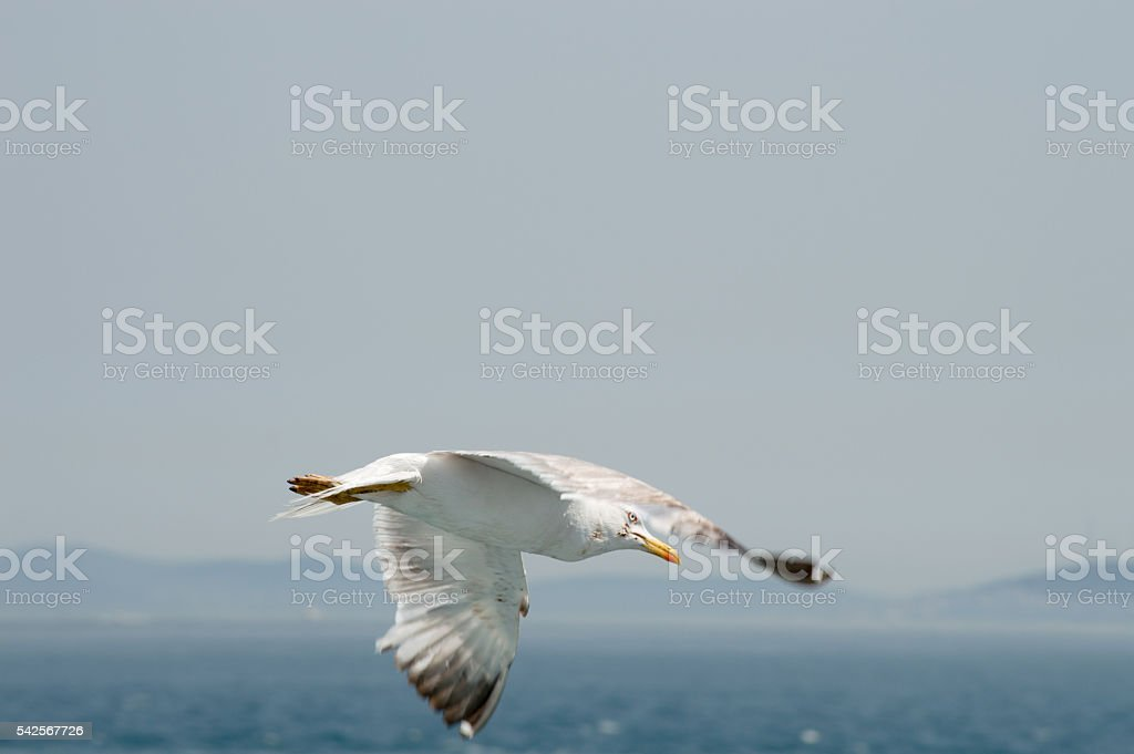 Seagull flying upon the sea stock photo