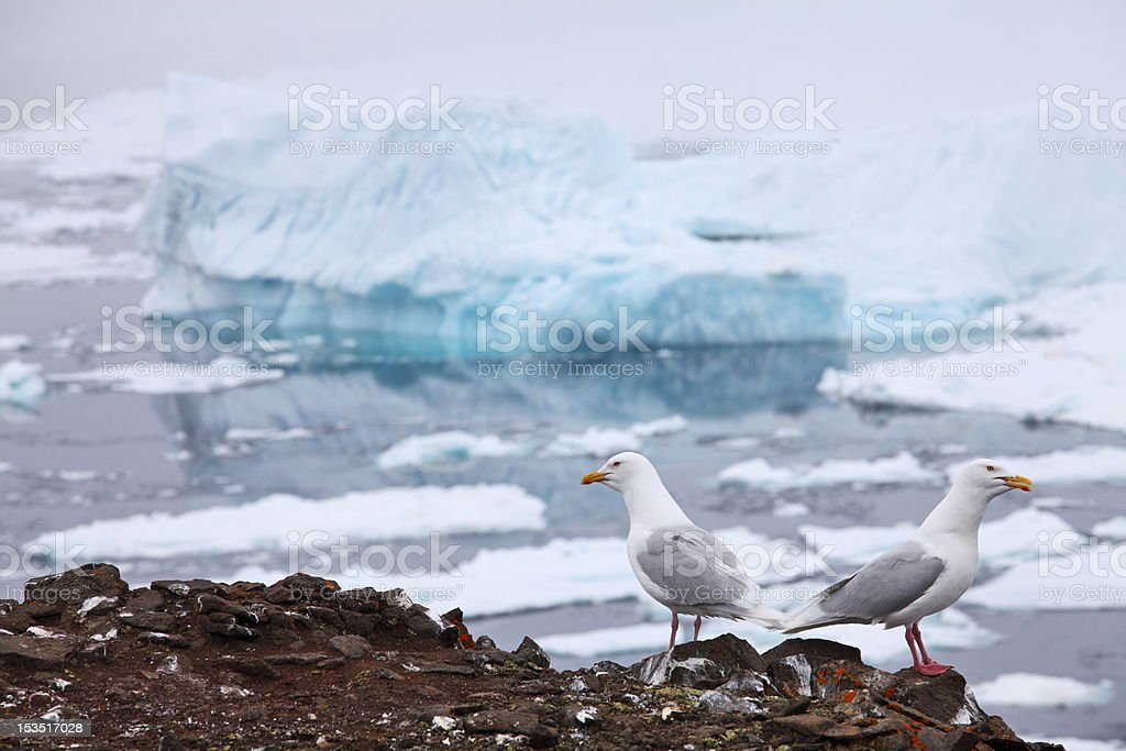 Seagull - Glaucous Gull (Larus hyperboreus) royalty-free stock photo