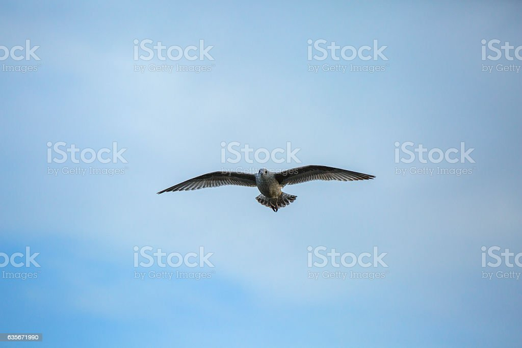 Seagull gliding freely in the sky stock photo
