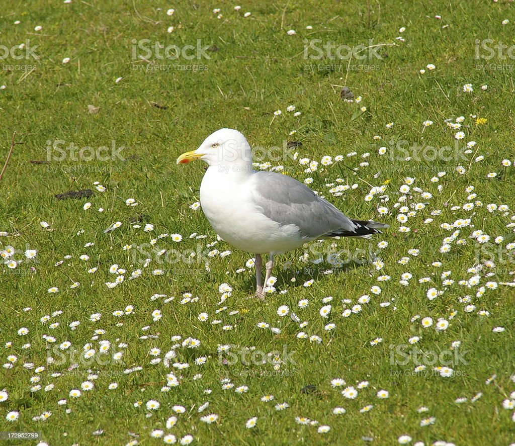 seagull in a field of daisys (Herring gull) stock photo