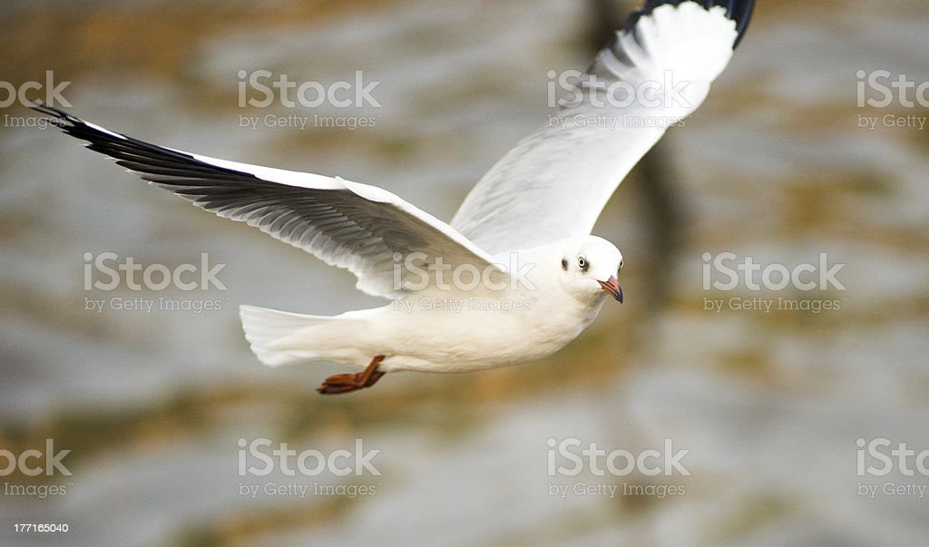 Seagull in BangPu, Thailand royalty-free stock photo