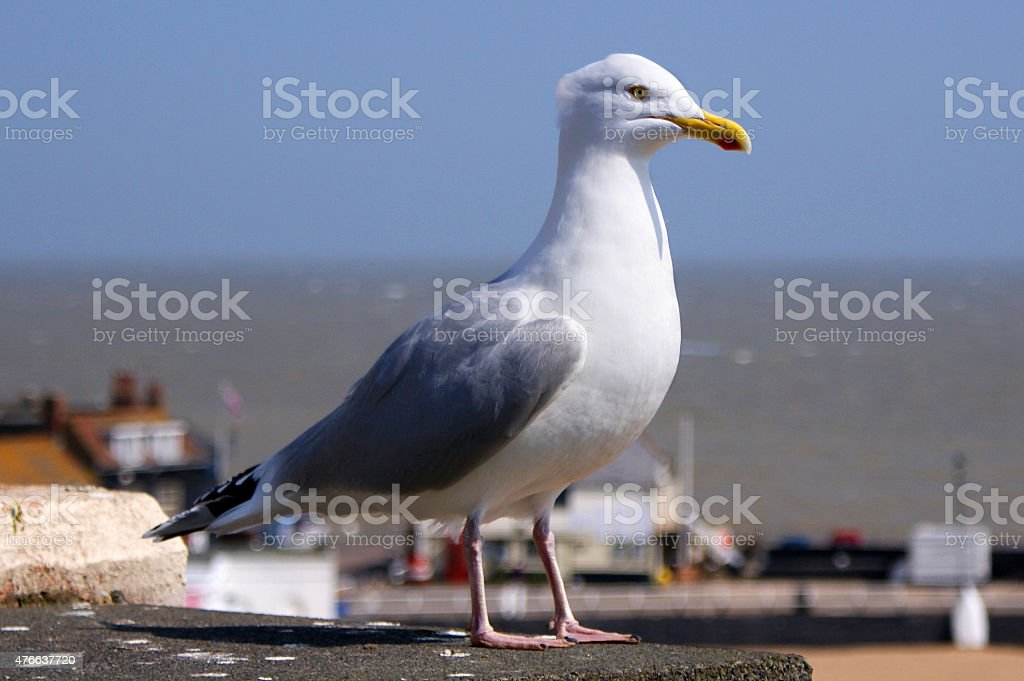 Seagull in Close Up stock photo