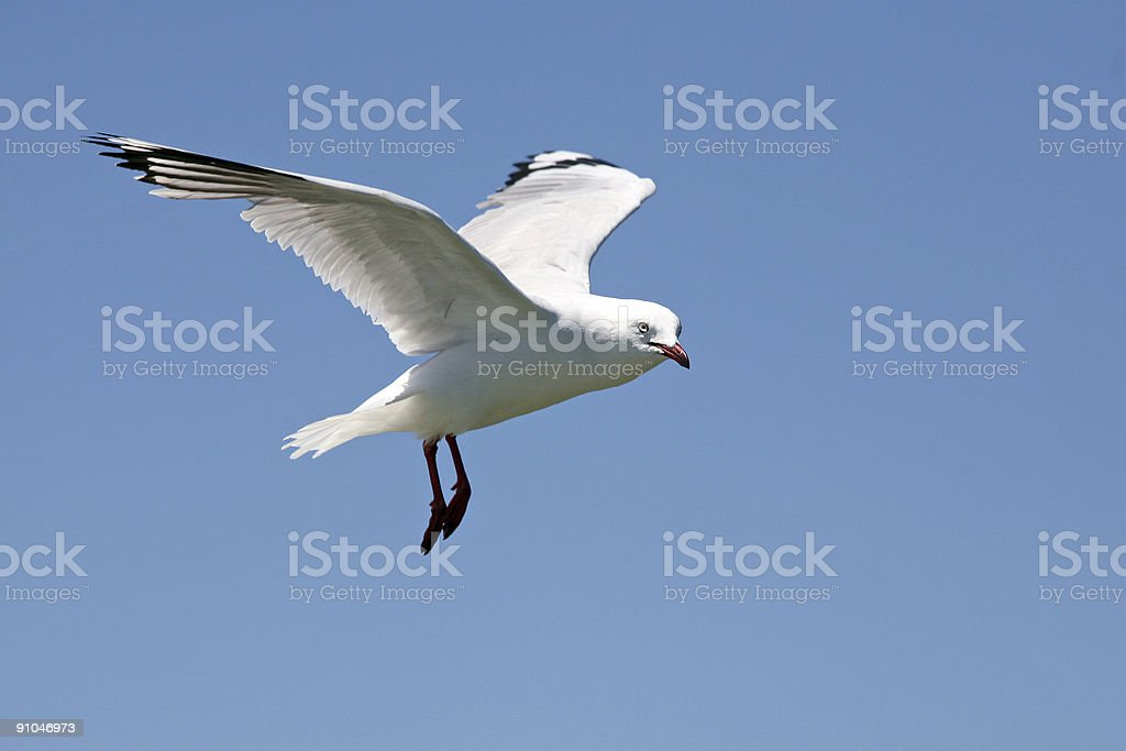 Seagull in flight 2 royalty-free stock photo