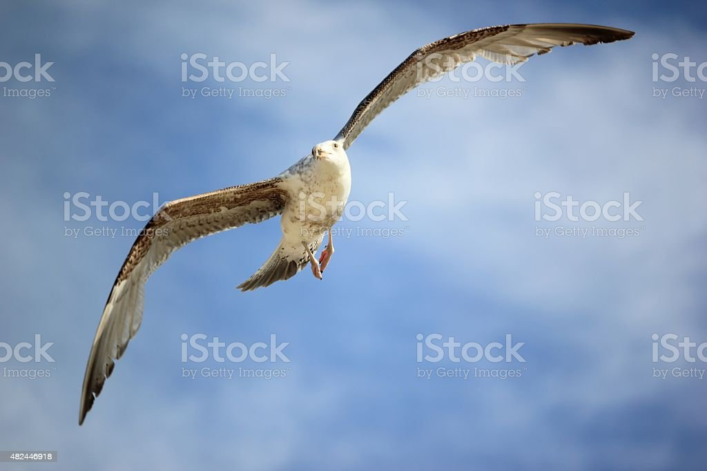 Seagull in flight, facing. North Sea, the Netherlands. stock photo