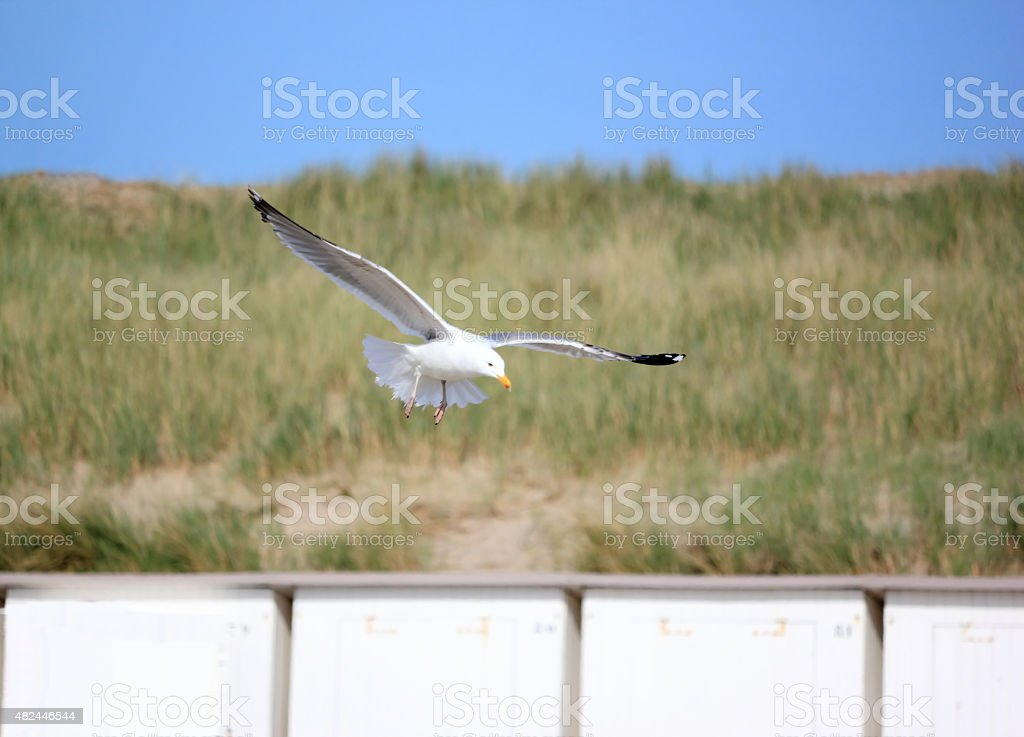 Seagull in flight. North Sea, the Netherlands. stock photo