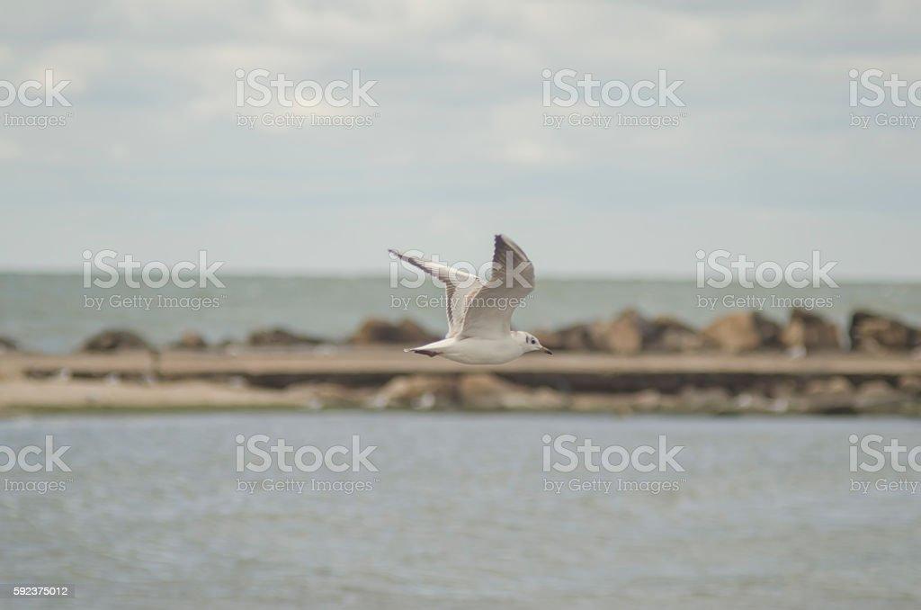 seagull in flight over the sea stock photo