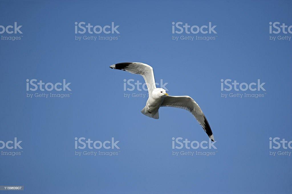 Seagull in flight stock photo