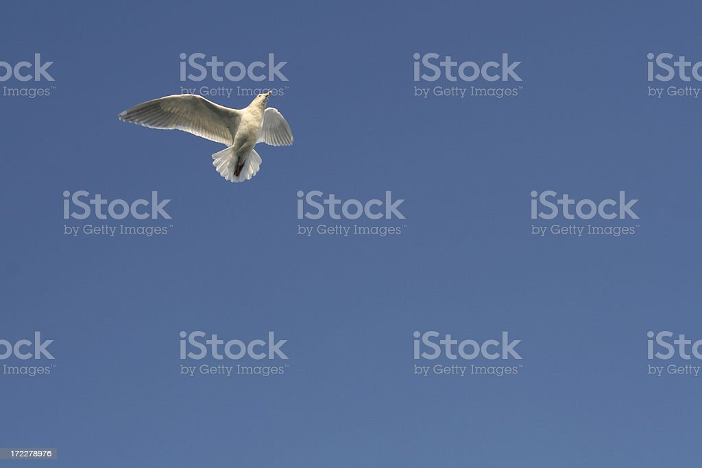 Seagull in Flight royalty-free stock photo