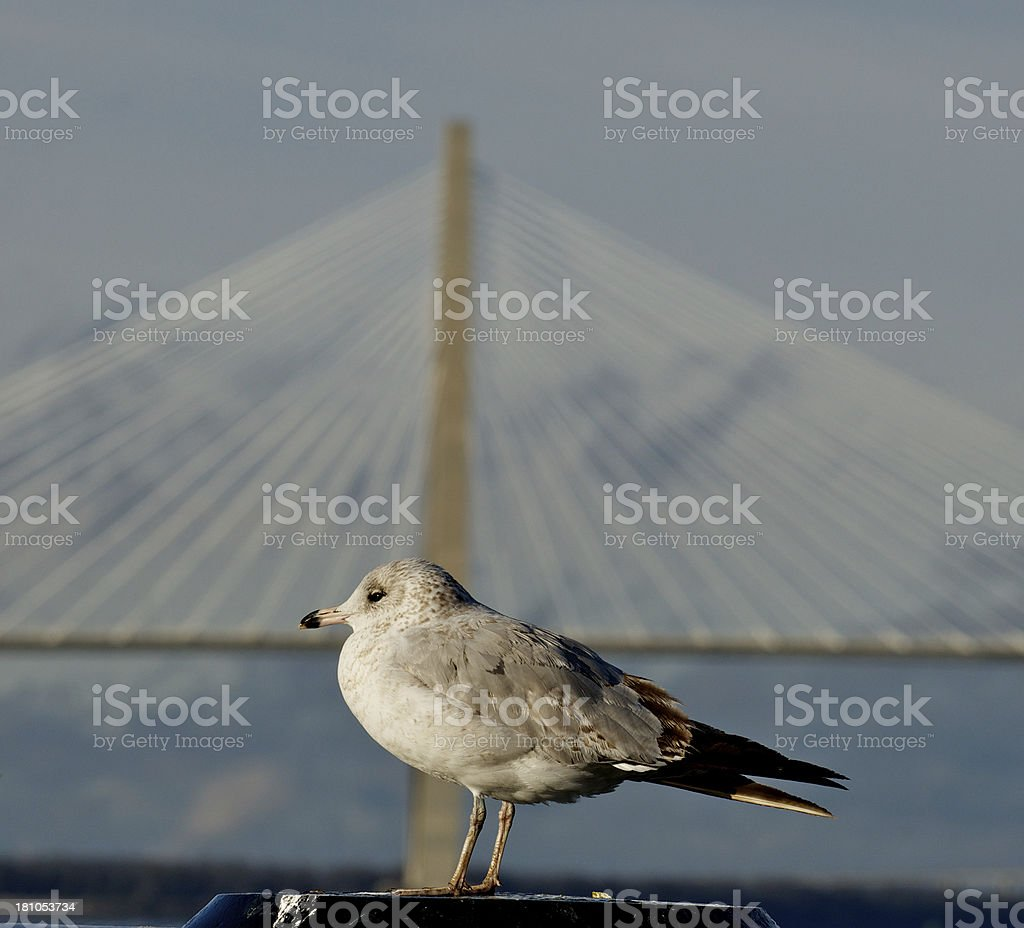 Seagull in front of Cooper River Bridge, Charleston, South Carolina royalty-free stock photo