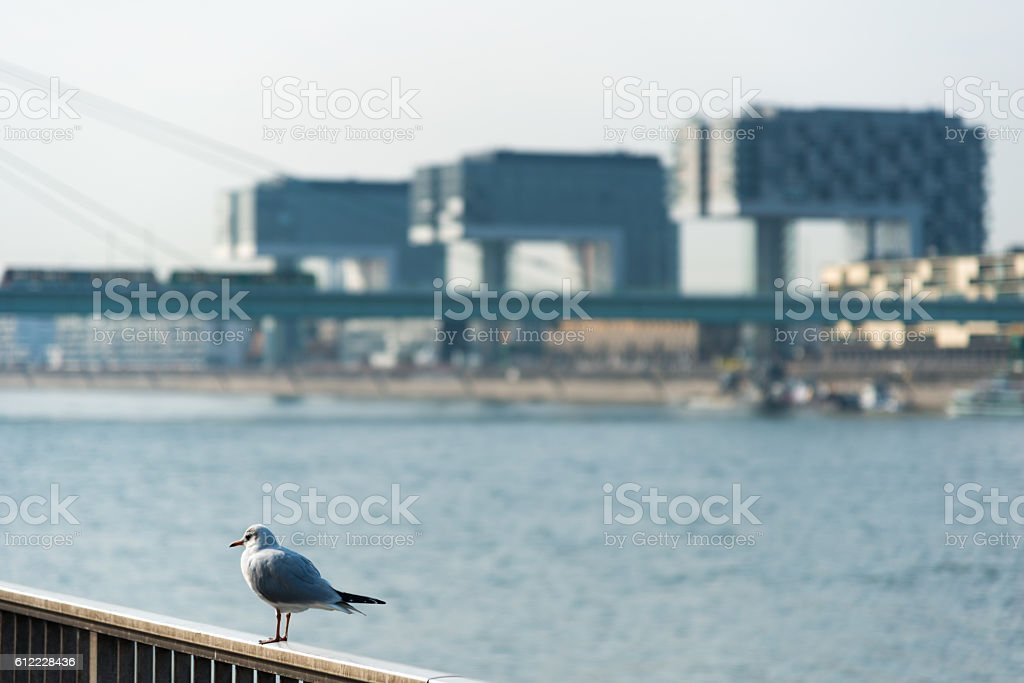seagull in front of the Rheinauhafen in Cologne, Germany stock photo