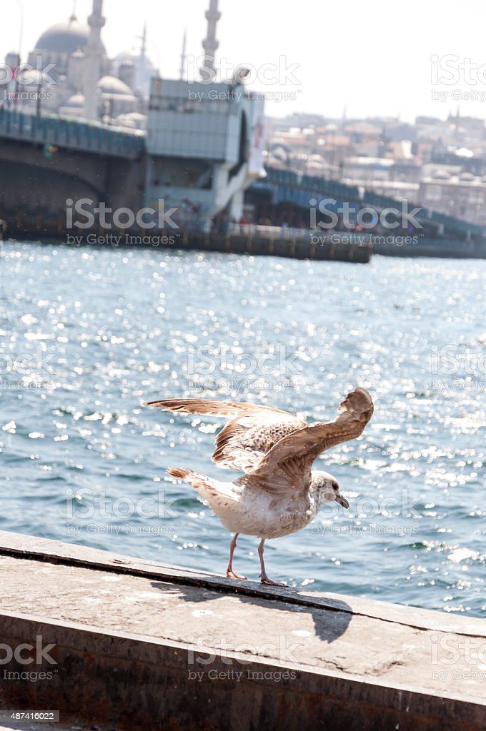 Seagull in Istanbul stock photo