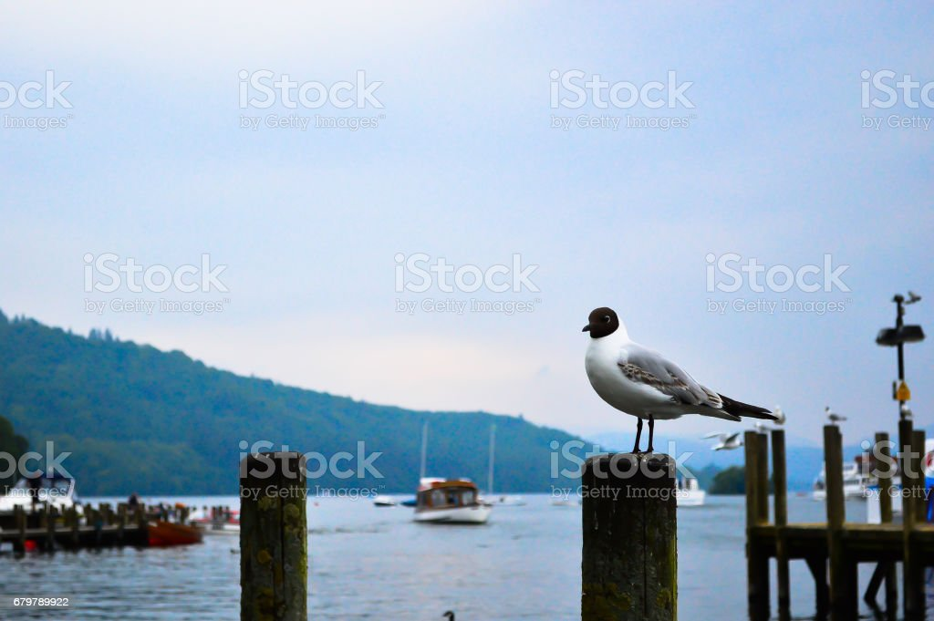 Seagull in Lake District stock photo