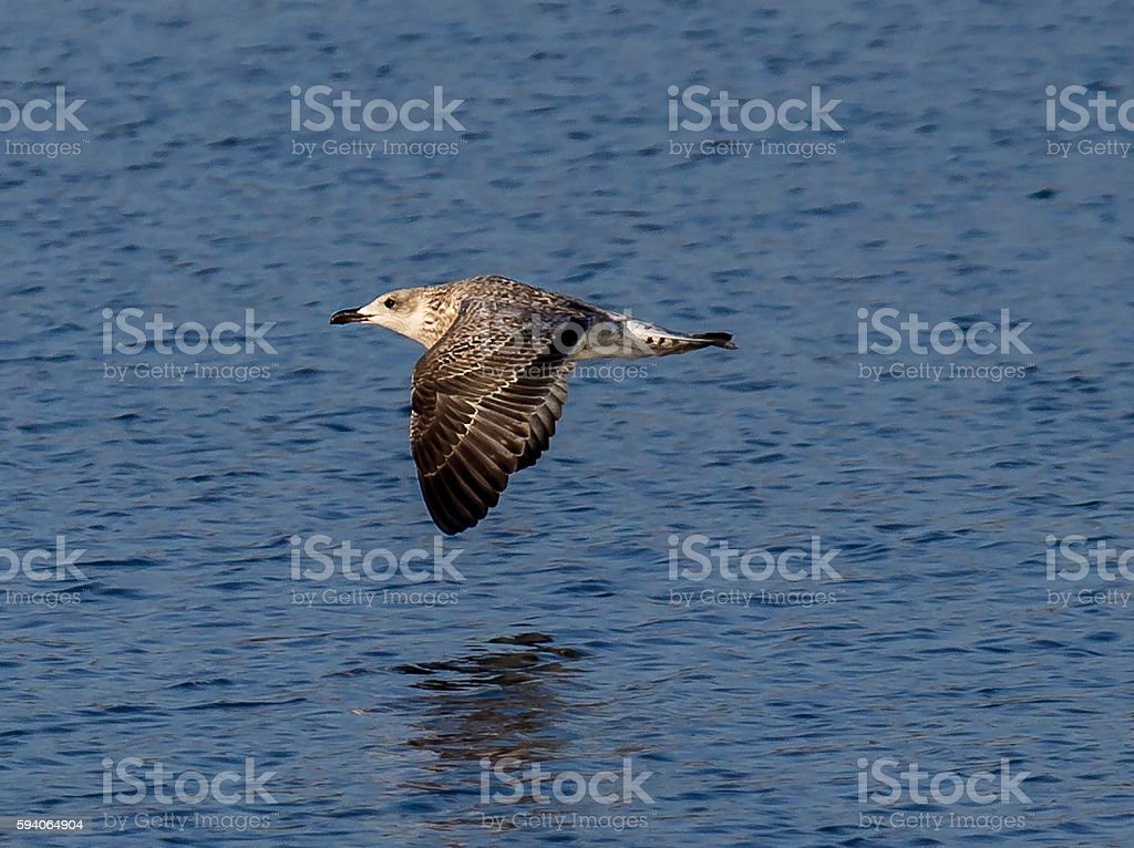 Seagull in low flight stock photo