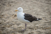 Seagull in New Hampshire