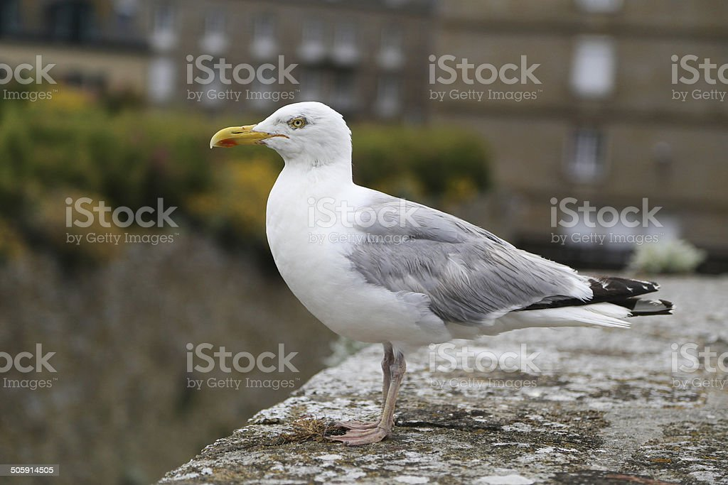Seagull in Saint-Malo, France stock photo