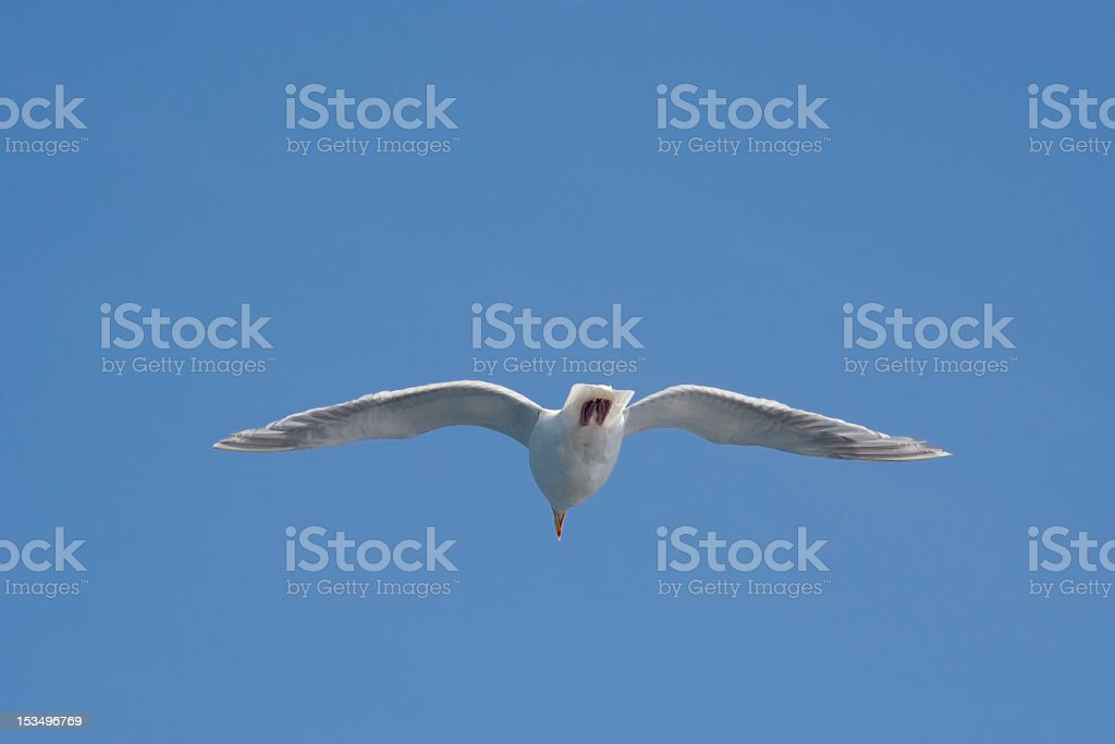 Seagull in Summer royalty-free stock photo