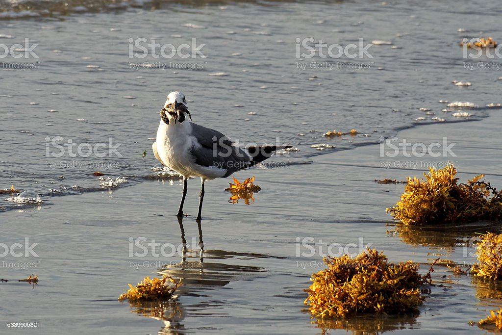 Seagull in Surf with Seaweed and Sea Turtle in Beak stock photo