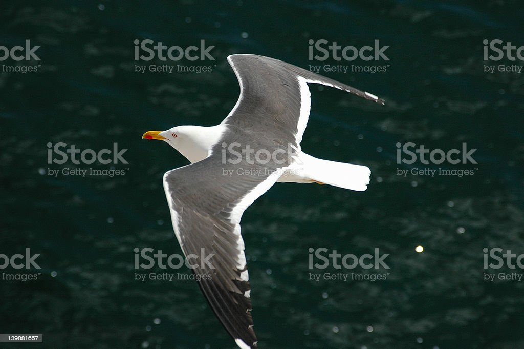Seagull in the air, above sea. royalty-free stock photo