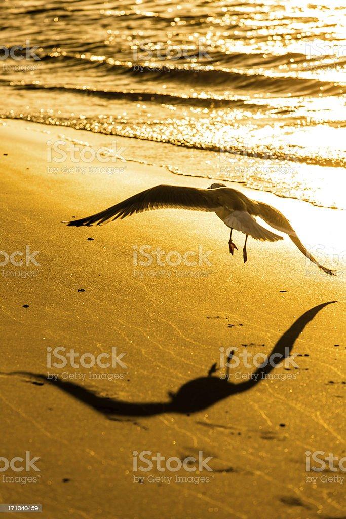 Seagull in the evening sun stock photo