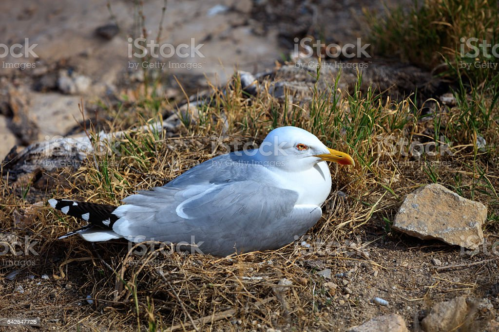 Seagull in the nest stock photo