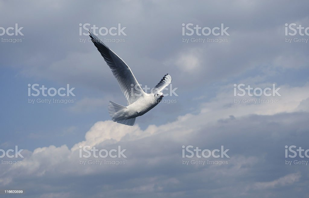 Seagull in the sky royalty-free stock photo
