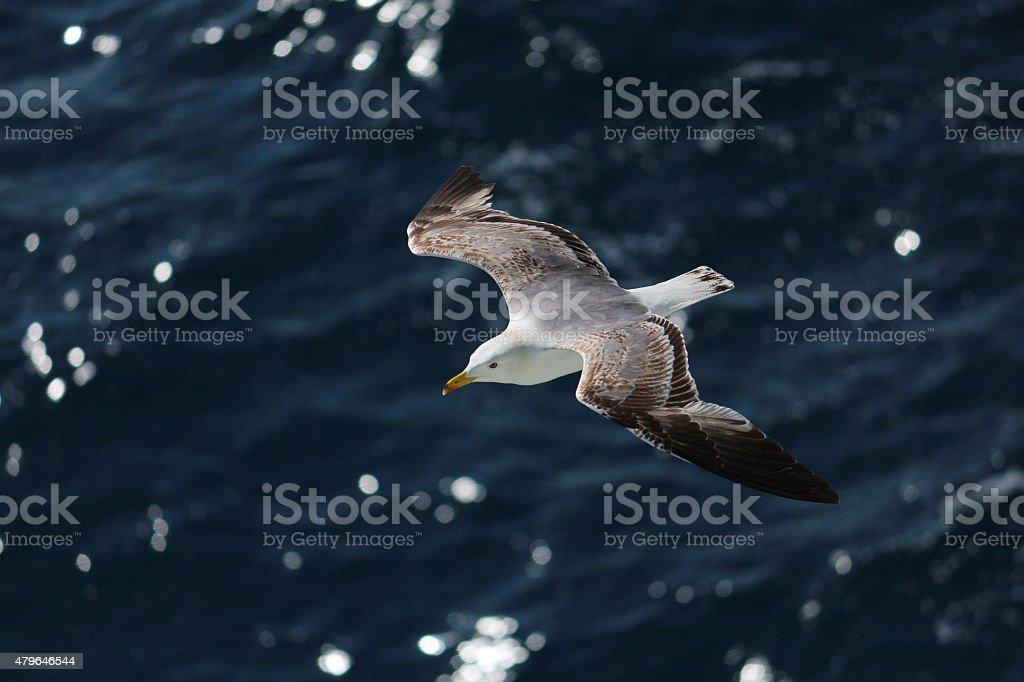 Seagull in wide-winged flight over dark, blue ocean stock photo