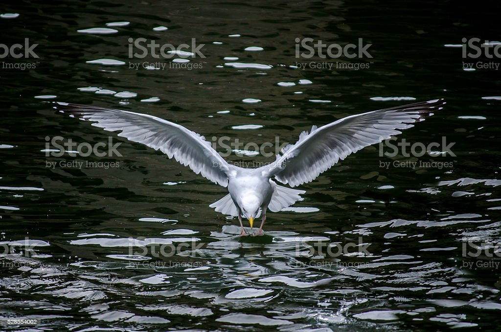 Seagull Landing on Water royalty-free stock photo