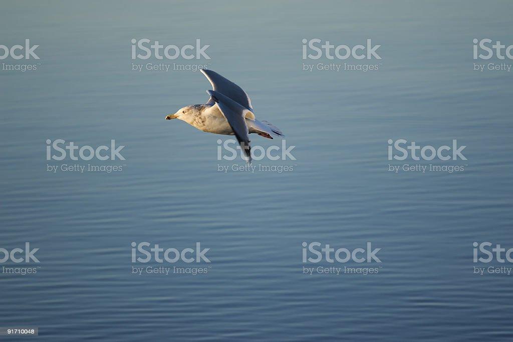Seagull - Larus argentatus stock photo