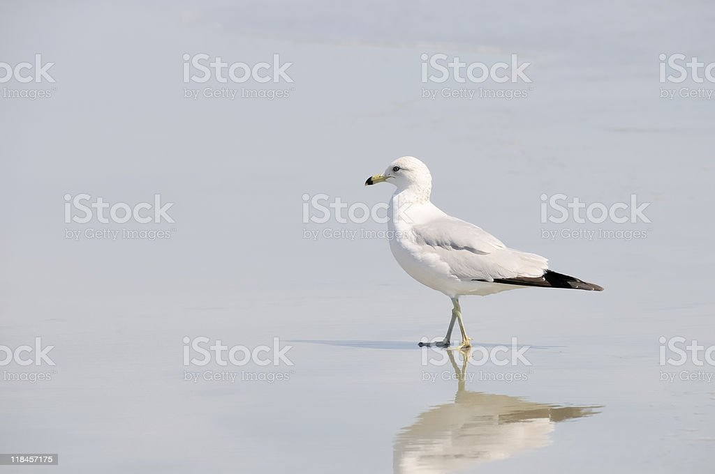 Seagull, Litchfield Beach stock photo