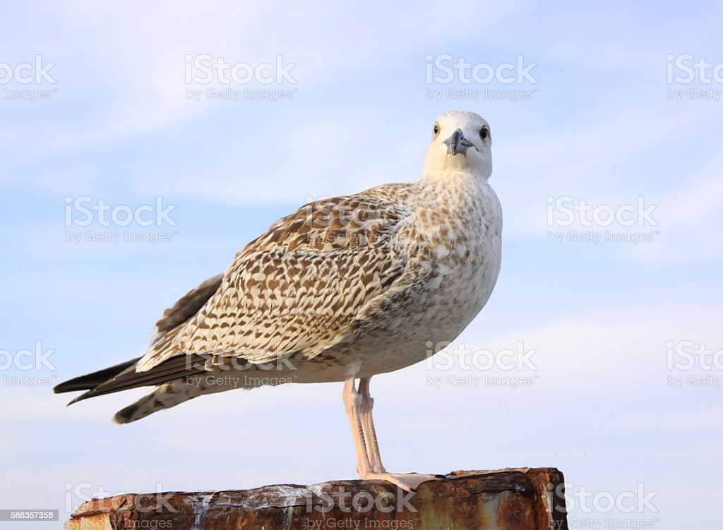 Seagull Looking at Camera in Chatham, Cape Cod, Massachusetts, USA. stock photo