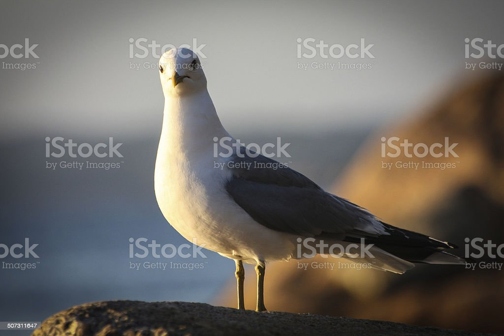 Seagull looking at me royalty-free stock photo