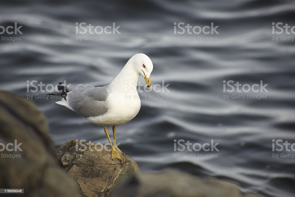 Seagull Looking Concerned stock photo