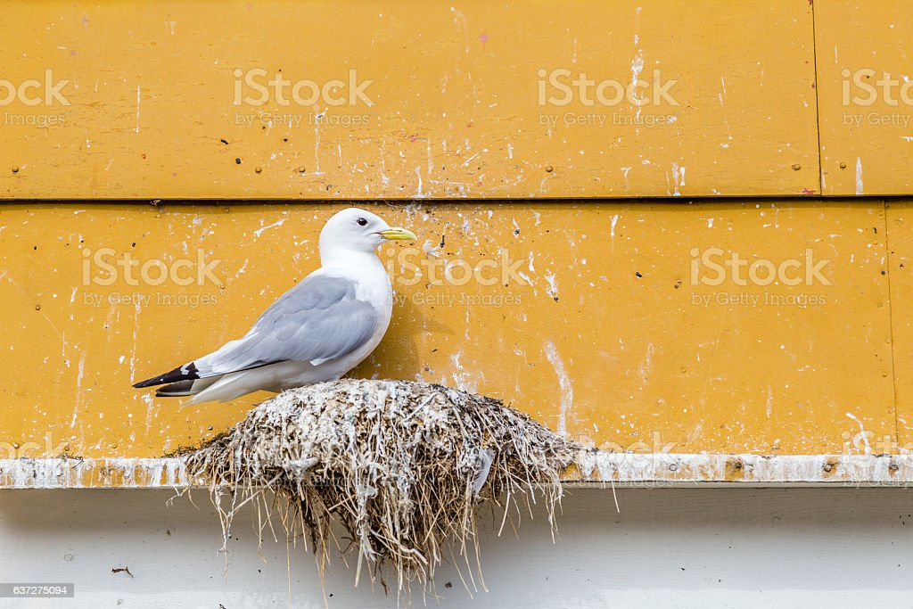 Seagull nest stock photo