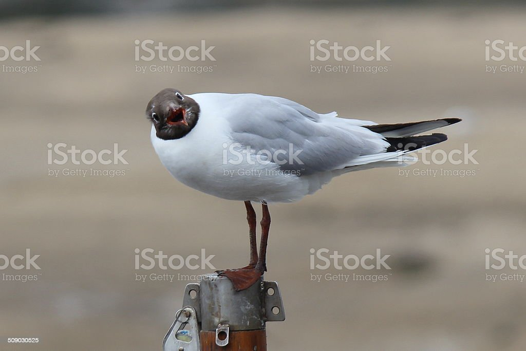 seagull on a post royalty-free stock photo