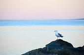 Seagull on a Rock by Lake Winnipeg