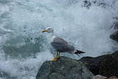 Seagull on a rock with a seastorm