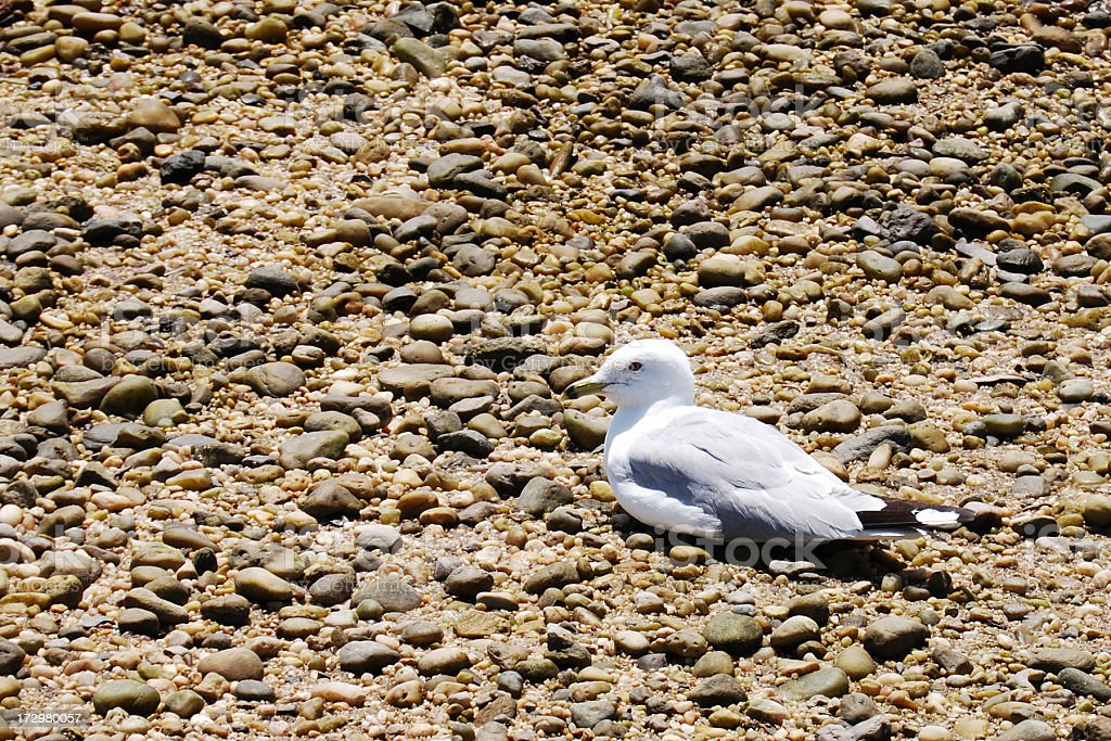 Seagull On A Rocky Beach royalty-free stock photo