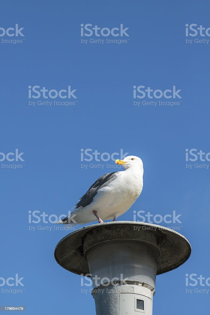 Seagull On A Street Light royalty-free stock photo