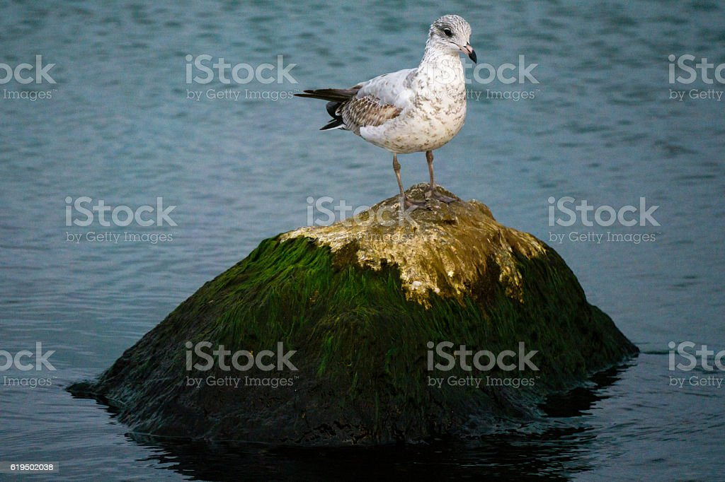 Seagull on an Algae Covered Rock stock photo