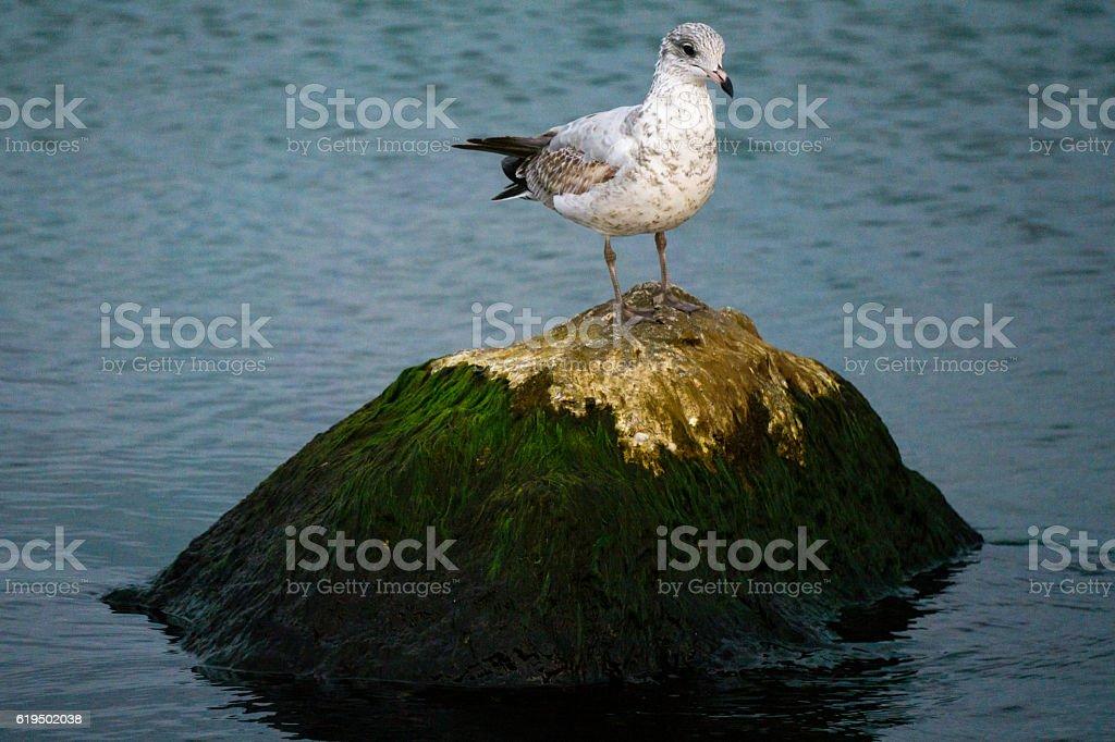Seagull on an Algae Covered Rock stock photo