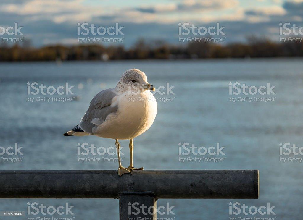 Seagull on Harbourfront - Toronto, Ontario, Canada stock photo