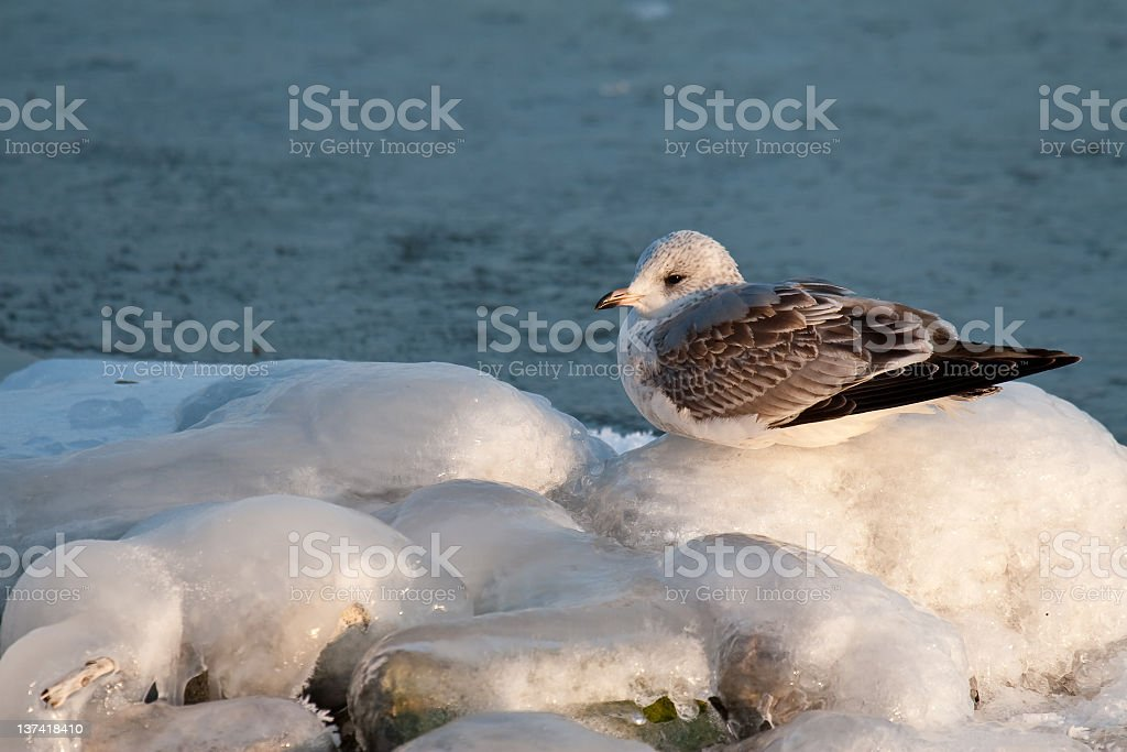 Seagull on ice royalty-free stock photo