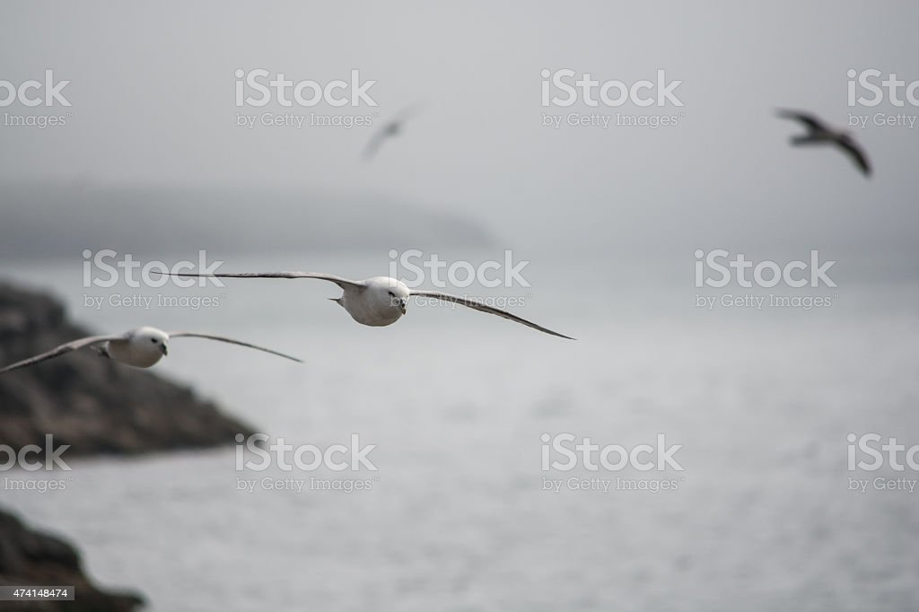 Seagull on Iceland royalty-free stock photo
